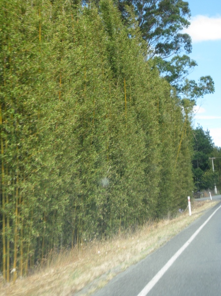 Tall bamboo windbreak