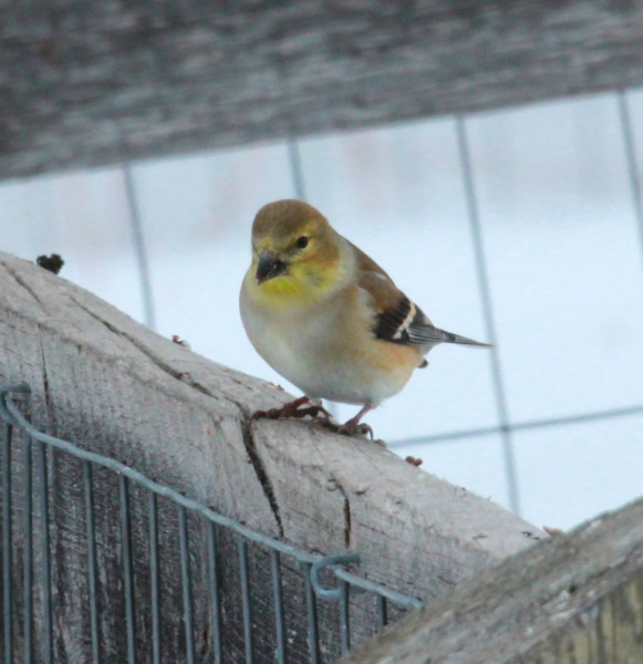 American Goldfinch in winter (1-17-15)