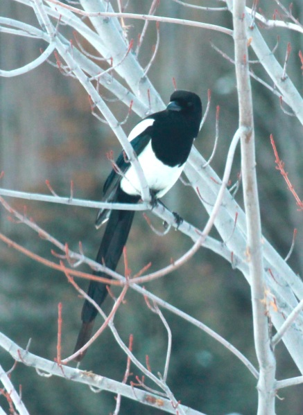 Black-billed Magpie (01-2015)