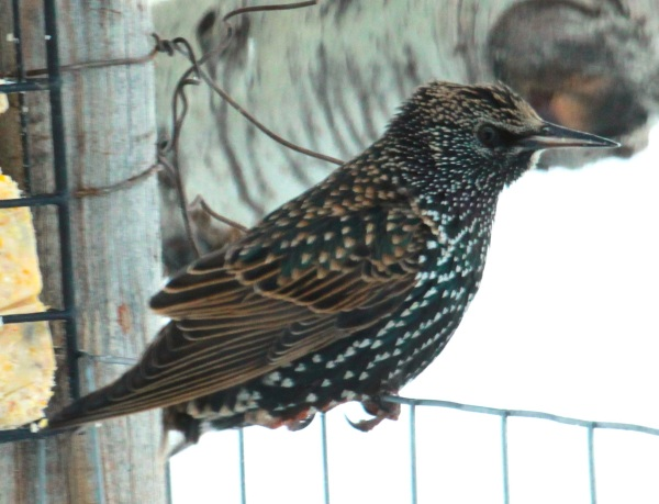 European Starling in winter (01-2015)