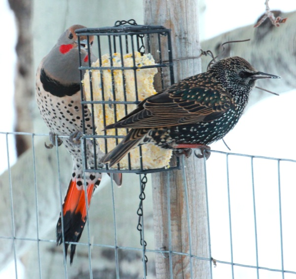 Male Red-shafted Flicker & Starling (01-2015)