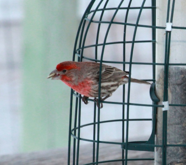 Male House Finch (01-17-2015)