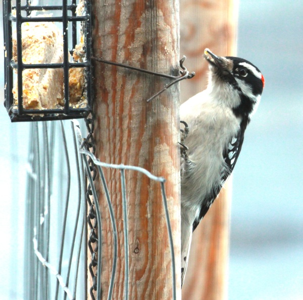 Male Downy Woodpecker (01-2015)