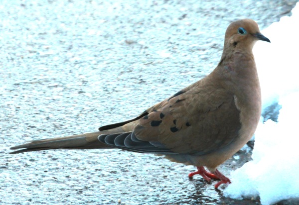 Mourning Dove (01-2015)