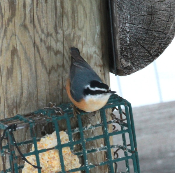 Red-breasted Nuthatch (01-2015)
