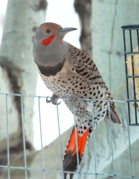 Male Red-shafted Flicker (01-2015)