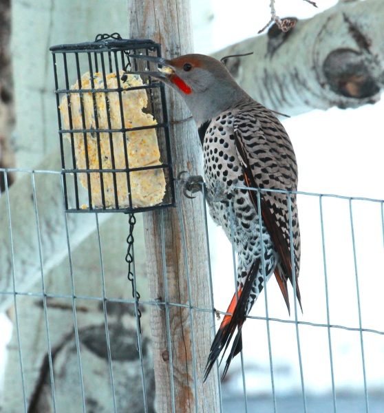 Male Red-shafted Flicker eating suet (01-2015)