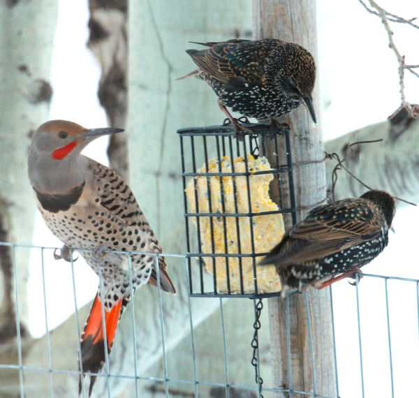 Male Red-shafted Flicker with European Starlings (01-2015)