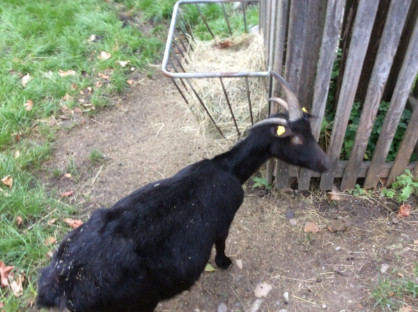 One of the goats with 4 horns in the Petting Zoo pen, (10-27-14)