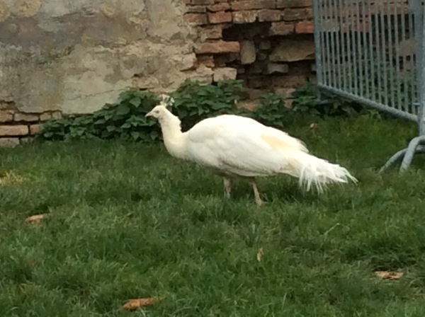 The beautiful white peacocks looked very regal! (10-27-14)