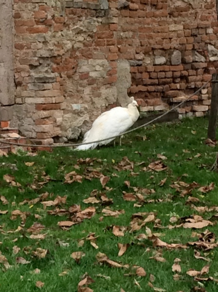Another white peacock (10-27-14)