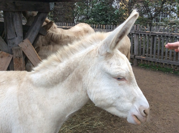 These donkeys are NOT albinos--they were bred specifically by the Habsburgs to be white with blue eyes. (10-27-14)