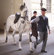 A Lipizzaner stallion heading back to the stables after a training session (photo from Wikipedia)